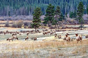 Kawuneeche Valley - Rocky Mountain elk in Kawuneeche Valley at dawn