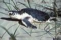 Kemps Ridley Sea Turtle, Texas (5984946972).jpg