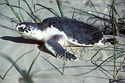 Kemps Ridley Sea Turtle, Texas (5984946972).jpg