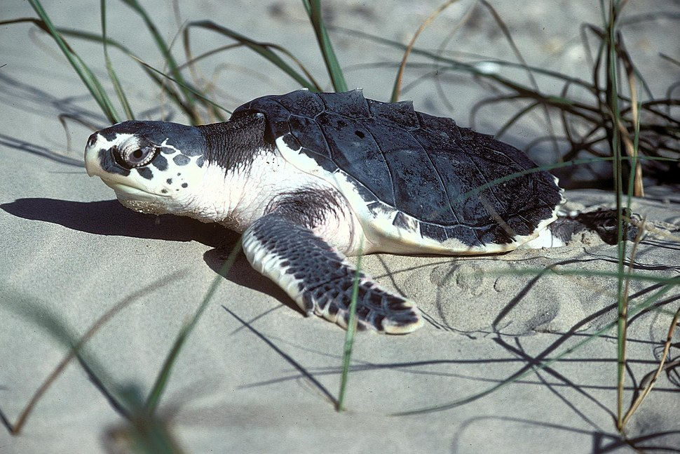 Kemps Ridley Sea Turtle, Texas (5984946972)