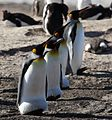 King Penguins on Saunders Island (5586268373).jpg