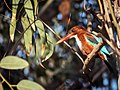 Kingfisher (147268577).jpeg
