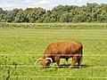 Kleinbeeren - Hochlandrind (Highland Cow) - geo.hlipp.de - 41166.jpg