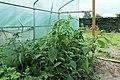 Kluse - Physalis philadelphica - Tomatillo 01 ies.jpg