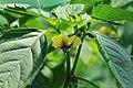 Kluse - Physalis philadelphica - Tomatillo 18 ies.jpg