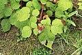 Kluse - Rubus phoenicolasius - Japanische Weinbeere 20 ies.jpg
