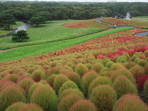 Kochia Hitachi Seaside Park