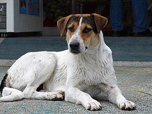 Deutsch: Hund auf Korfu