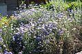 Kornblume (Centaurea cyanus) (9478094257).jpg