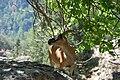 Kri-Kri, Samaria Gorge, Crete, female.jpg