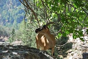 Kri-kri - Adult female in natural habitat, Samaria Gorge National Park