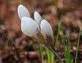 Krokus (Crocus). Vrolijke voorjaarsbloeier. Locatie, Natuurterrein De Famberhorst 04.jpg