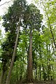 Kusel in der Winterhelle Mammutbaum.jpg