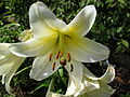 Kvetoucí lilie (6).jpg