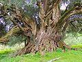 L'olivastro (Olea europea var. sylvatica) plurimillenario di Luras.JPG