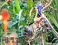 LSG0025QLB (Bode-Selke-Aue) Wedderstedt Singvögel auf der Diestel.jpg