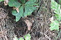 Lacerta agilis – in Nature Park Velký Kosíř 1.jpg