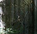 Lago tana, isola di entos eyesu, ragno con tela dorata, forse un nephila 01.jpg