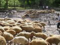 Lahic sheep Azerbaijan.jpg