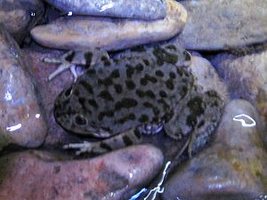 English: A juvenile Lake Titicaca Frog in a st...