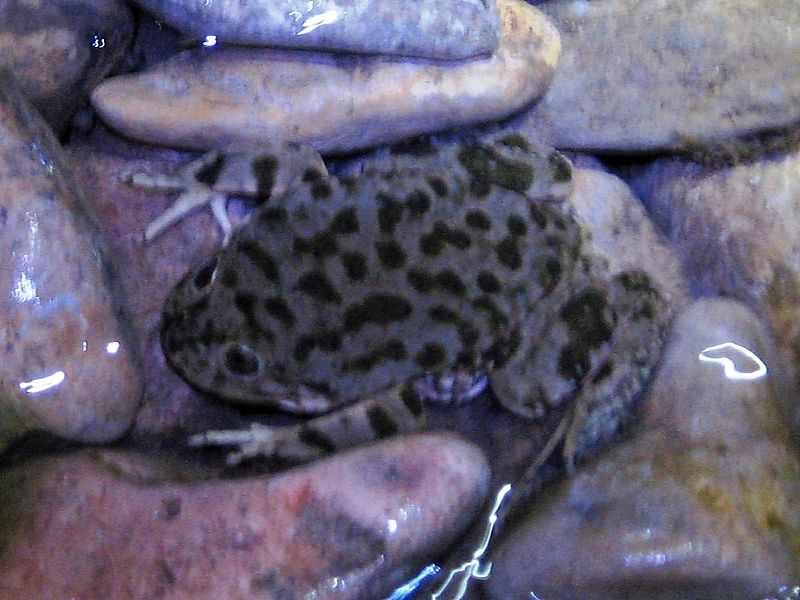 File:Lake Titicaca Frog 1.JPG