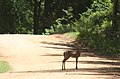 Lake martin deer by amphitheater.jpg