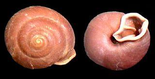 <i>Labyrinthus</i> gastropod genus