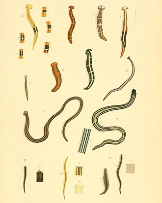 Geoplanidae - Assorted land planarians from Southeast Asia
