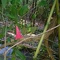 Lapageria rosa - San Fabián.JPG