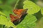 Large skipper butterflies (Ochlodes sylvanus).jpg