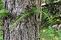 Larix decidua in La Jaysinia (3).jpg