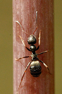 Lasius.niger.-.lindsey.jpg