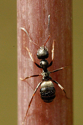 external image 290px-Lasius.niger.-.lindsey.jpg