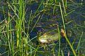 Laughing Frog (Pelophylax ridibundus) - Flickr - berniedup (1).jpg