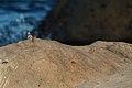 Lava lizard (4202567734).jpg