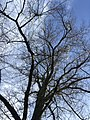 Leafless tree in winter.jpg