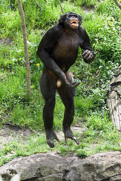 File:Leaping Bonobo.jpg