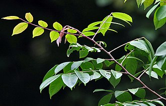 Averrhoa carambola - Leaves - both sides in India.