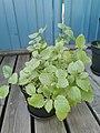 Lemon balm plant in a pot 13.jpg
