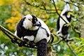 Lemur (26245225369).jpg