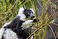 Lemur (26618960467).jpg