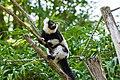 Lemur (36710254861).jpg
