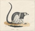 Lemur macaco - 1829-1867 - Print - Iconographia Zoologica - Special Collections University of Amsterdam - UBA01 IZ19700017.tif