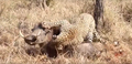 Leopard eats alive Warthog ✰Amaizing Video HD 8.png