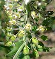 Lepidium campestre2 W.jpg