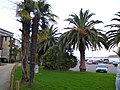 Les palmiers de dinard - panoramio.jpg