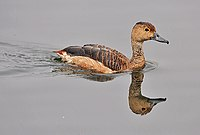 Lesser Whistling-duck (Dendrocygna javanica)- after bath at Kolkata I IMG 2480