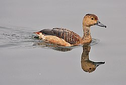 Lesser Whistling-duck (Dendrocygna javanica)- after bath at Kolkata I IMG 2480.jpg