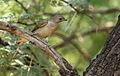Lesser honeyguide, Indicator minor, at Pilanesberg National Park, South Africa (15373316914).jpg