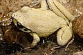 Lesueurs Frog.jpg